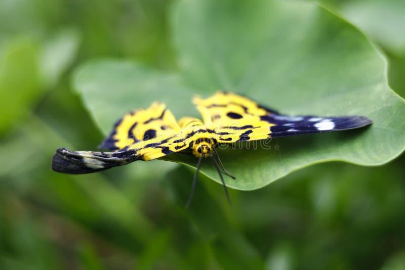 Żółty motyla odpoczynek na zielonym dużym liściu błękitny tło fotografia royalty free
