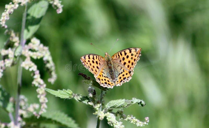 Żółty motyli Argynnis hyperbius obrazy royalty free