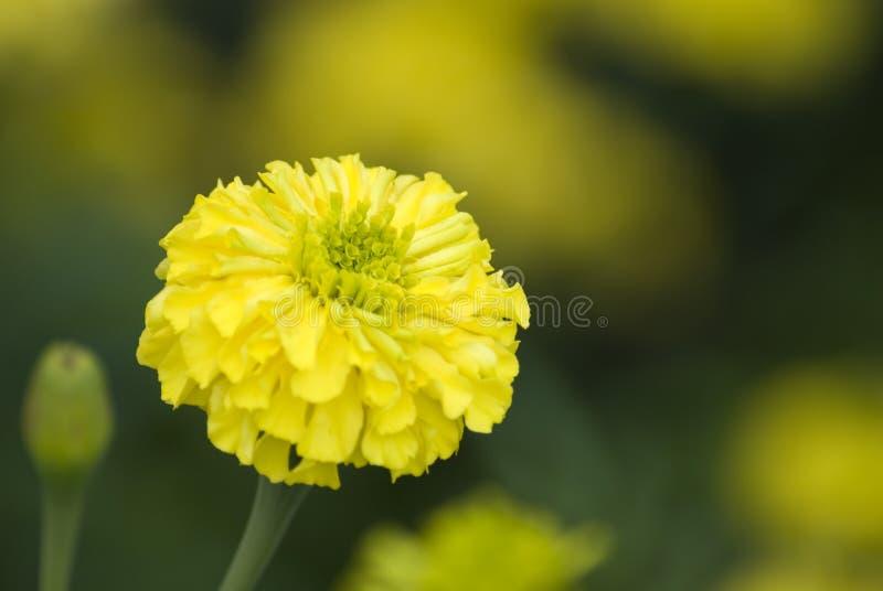 Żółty nagietek kwitnie przy ogródem obrazy royalty free