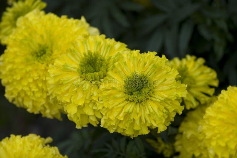 Żółty nagietek kwitnie przy ogródem zdjęcia stock