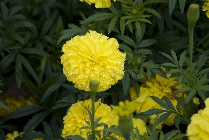 Żółty nagietek kwitnie przy ogródem obraz royalty free