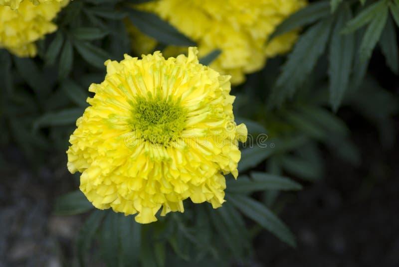 Żółty nagietek kwitnie przy ogródem zdjęcie royalty free