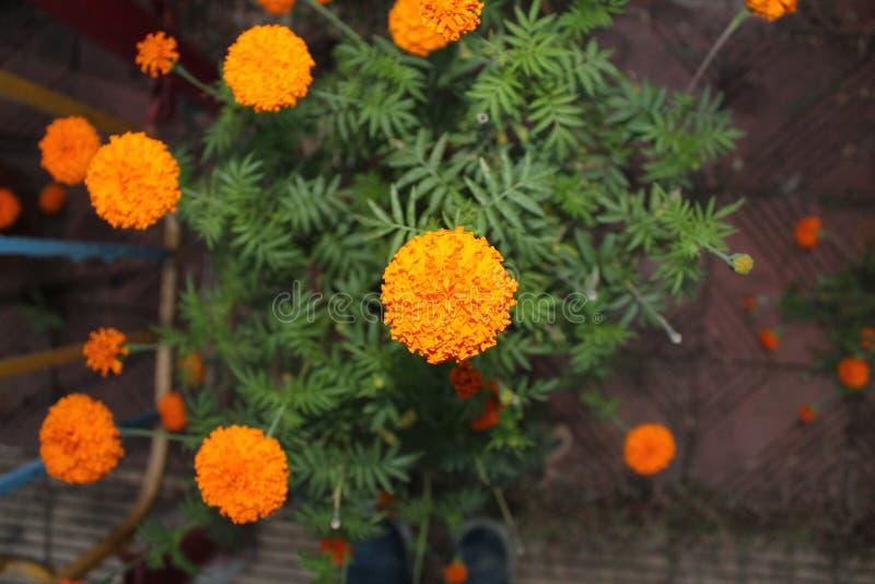 Żółty nagietek kwitnie z płatkami obrazy stock