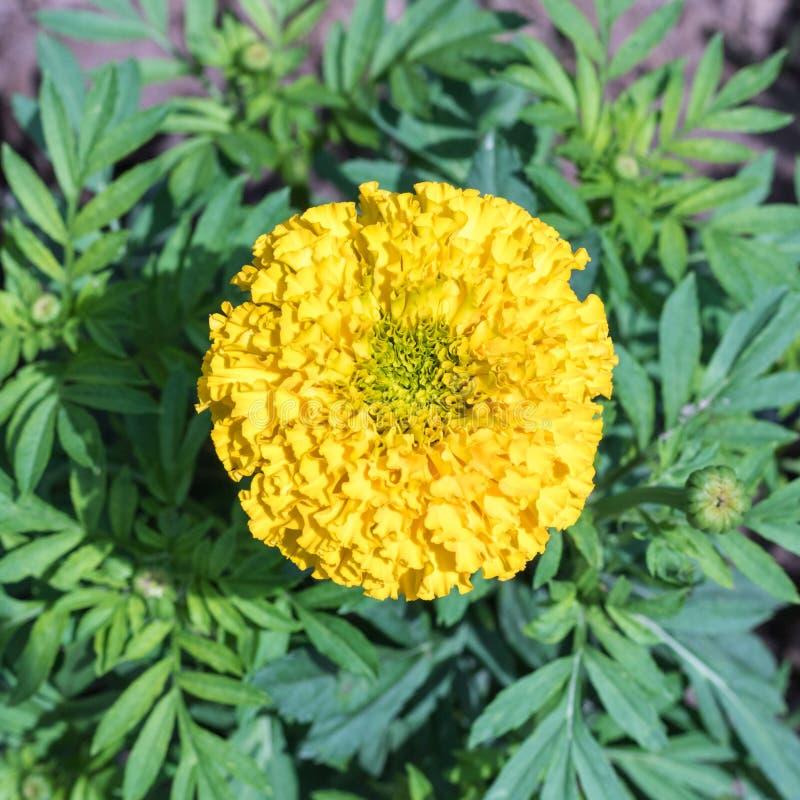 Żółty nagietka kwiat w ogródzie Odgórny widok fotografia royalty free