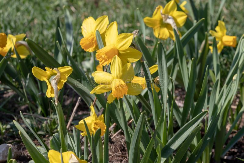 Żółty narcyz - daffodil na zielonym tła, wiosna kwiatu narcyza daffodil kwitnieniu w Kwietniu, i może, w górę w obraz royalty free