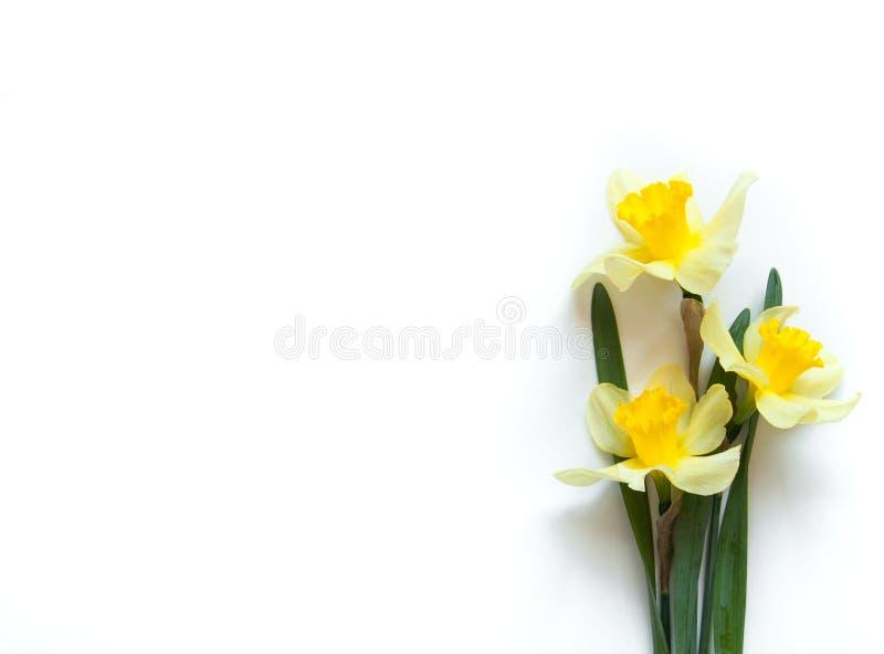 Żółty narcyz Kwitnie na lekkim białym tle Gratulacyjny flory tło dla kartki z pozdrowieniami obraz royalty free