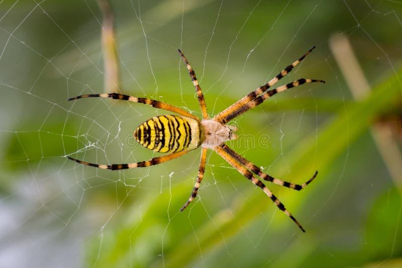 Żółty ogrodowy pająk na sieci zdjęcie royalty free