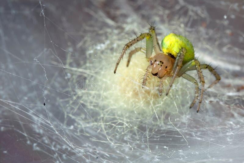 Żółty pająk w pajęczynie fotografia royalty free