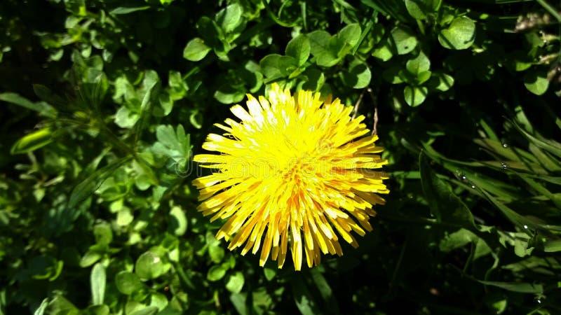 żółty piękny kwiat obraz stock