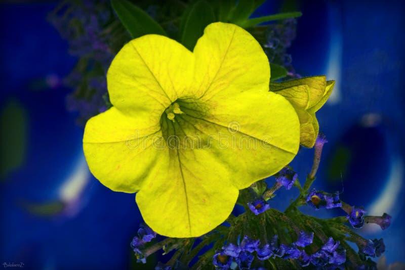 Żółty piękny makro- kwiat w błękitnym tle i tapety w odgórnych wysokiej jakości drukach zdjęcia stock