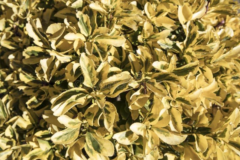 Żółty pittosporum szczegół obrazy stock