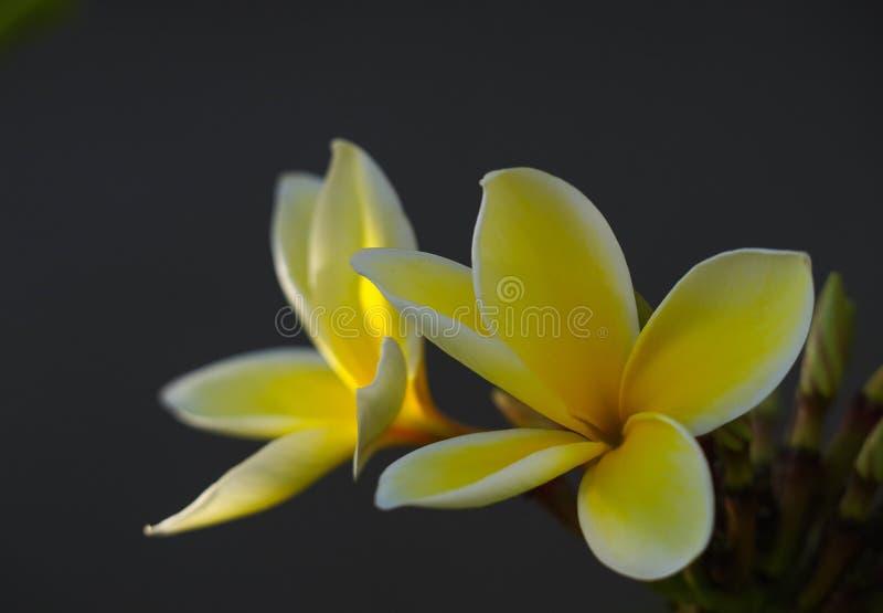Żółty plumeria kwitnie w niskim świetle odizolowywającym przeciw ciemnemu tłu obraz royalty free