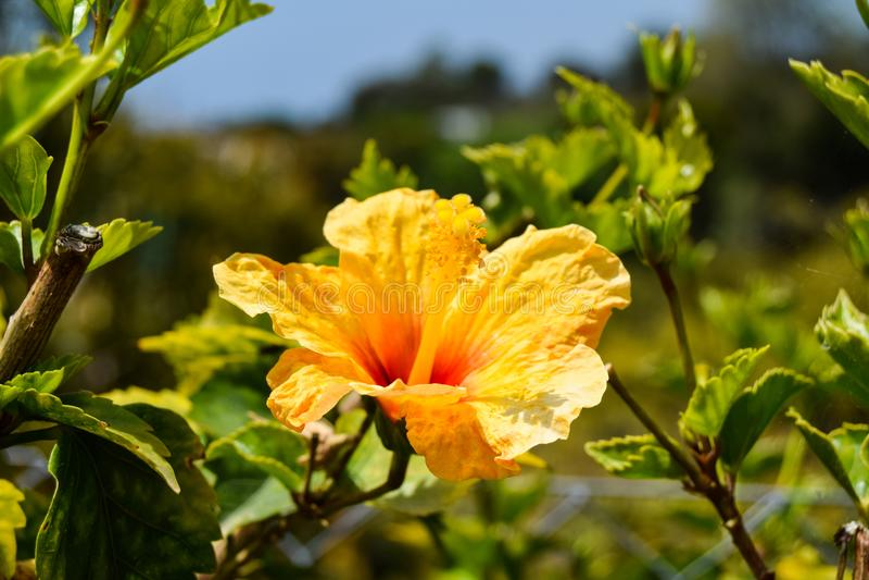 Żółty poślubnika kwiat z zielonymi liśćmi fotografia stock