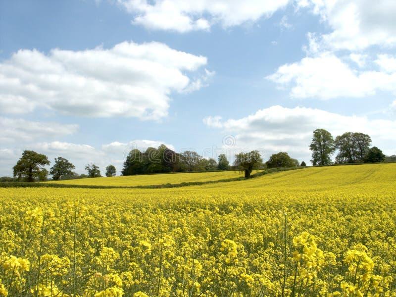 Download Żółty pola zdjęcie stock. Obraz złożonej z horyzont, ziarno - 136252