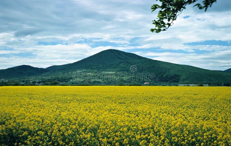 Żółty pola zdjęcie royalty free