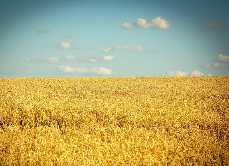 Żółty pole banatka i błękita jasny niebo z unosić się zdjęcia royalty free