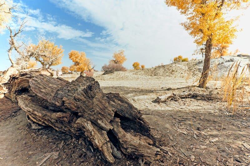 żółty populus euphratica las w jesieni fotografia stock