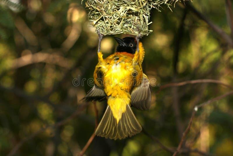 Żółty ptaka obrazy royalty free