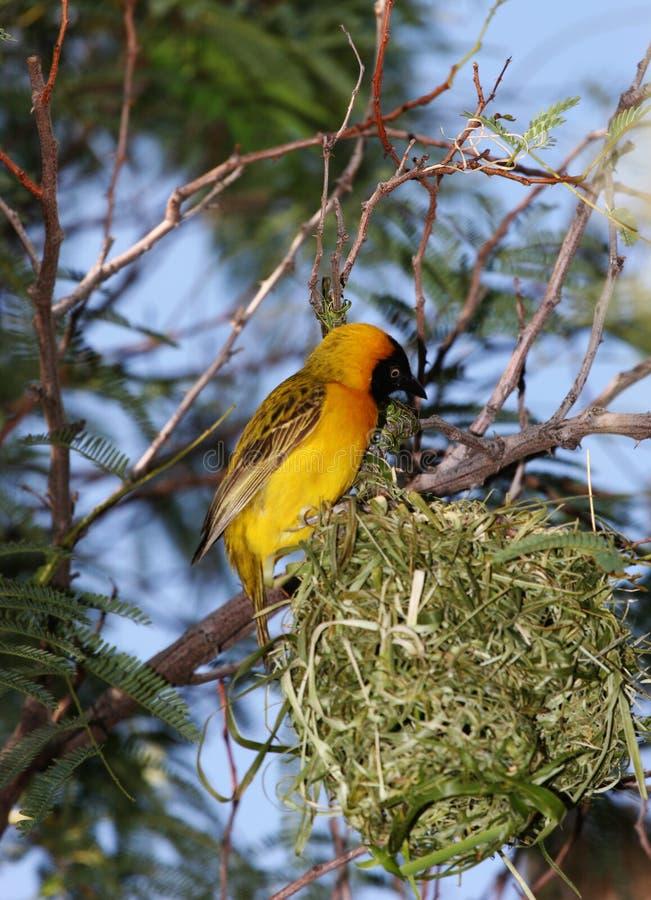 Żółty ptaka zdjęcia royalty free