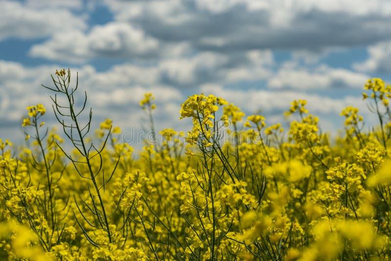 Żółty rapefield obrazy royalty free