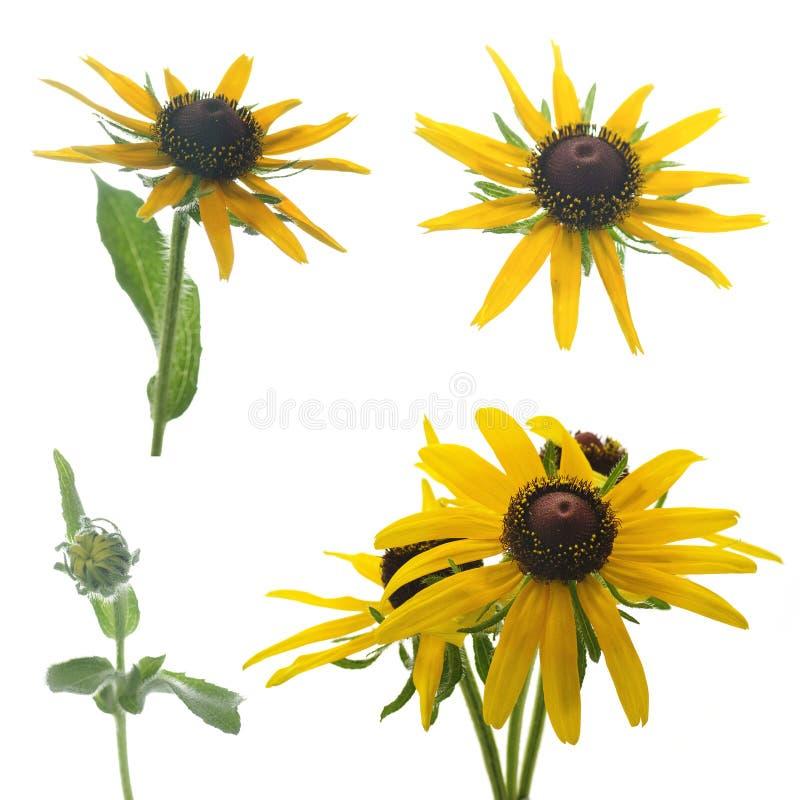 Żółty rudbeckia kwiat na białym tle fotografia royalty free