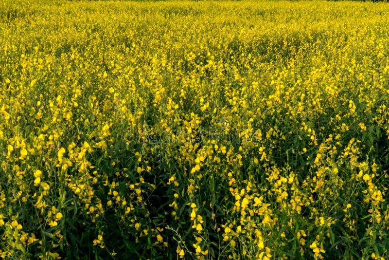 Żółty słońce konopie Śródpolnej uprawy widok zdjęcie stock