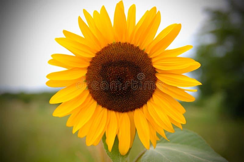 Żółty słońce kwiat w błękitnym niebie z pszczołą zdjęcie royalty free