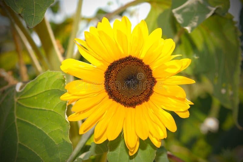 Żółty słońce kwiat w błękitnym niebie z pszczołą obrazy royalty free