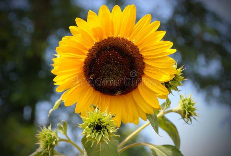 Żółty słońce kwiat w błękitnym niebie z pszczołą zdjęcia royalty free