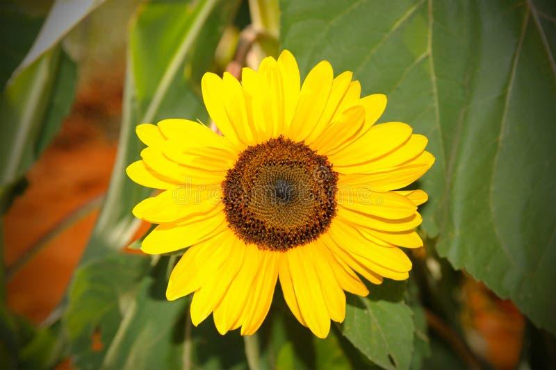 Żółty słońce kwiat w błękitnym niebie z pszczołą fotografia royalty free
