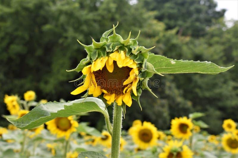 żółty słonecznik obrazy stock