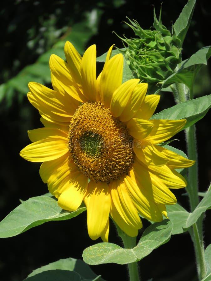 Żółty sÅ'onecznik w ogrodzie zdjęcia royalty free