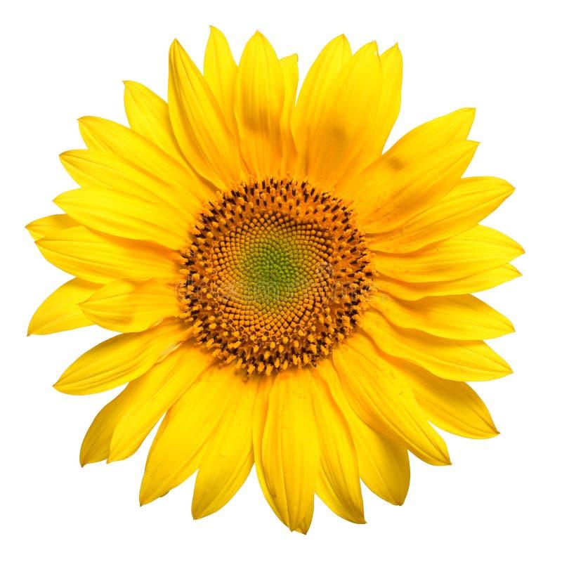 Żółty słonecznikowego bright zdjęcia stock