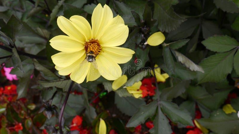 Żółty Słonecznikowy ` cytryny królowej ` z pszczoła Zbierackim nektarem fotografia royalty free