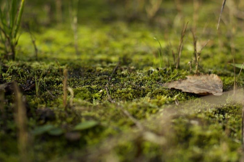 Żółty spadać liść na zielonym mech obrazy royalty free