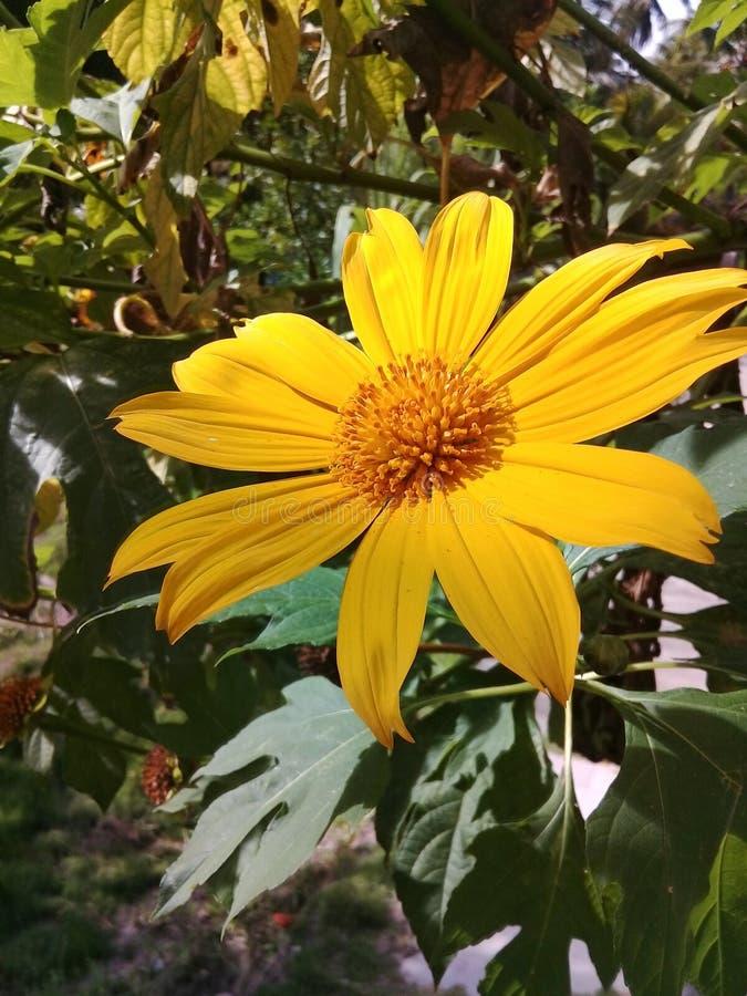 Żółty stokrotka kwiat w ogródzie z zielonymi liśćmi za zdjęcie stock