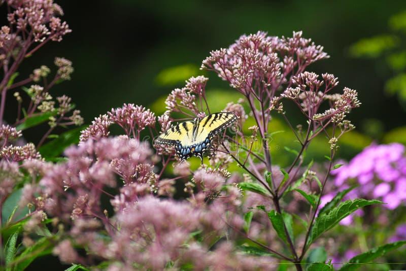 Żółty swallowtail motyl na Joe Pye świrzepie zdjęcia royalty free