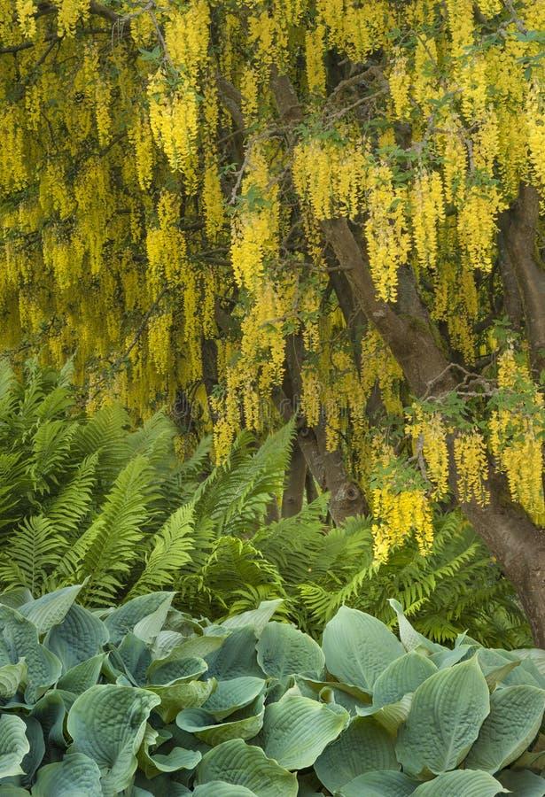 Żółty szczodrzena drzewo kwitnie drapować nad wierzchołkiem paprocie i hosta zdjęcie stock