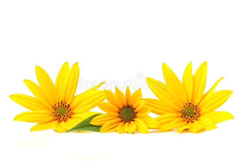Żółty topinambur kwitnie na bielu zdjęcia stock