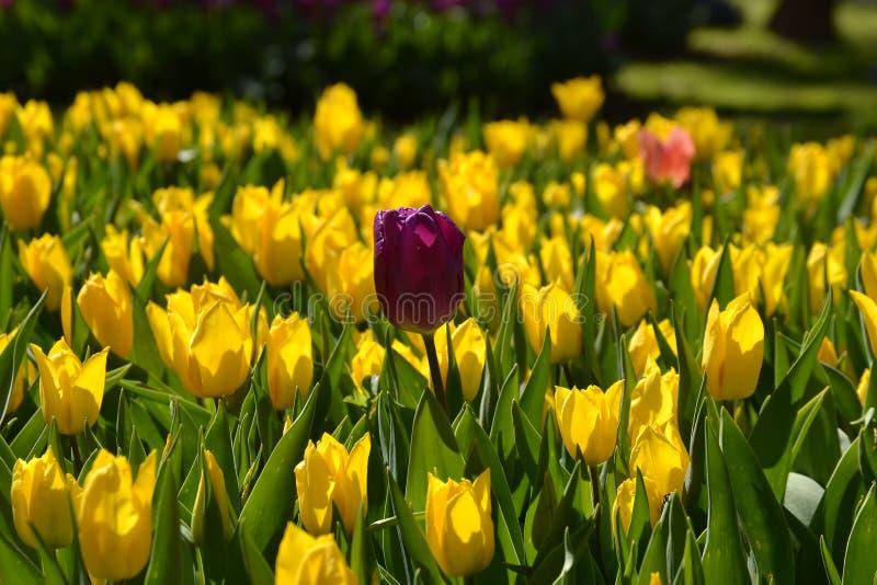 Żółty tulipanowy kwiat czerwieni tulipan zdjęcia royalty free