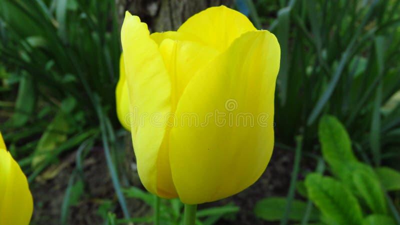 Żółty tulipanowy kwiat w ogródzie Tulipa zdjęcia royalty free