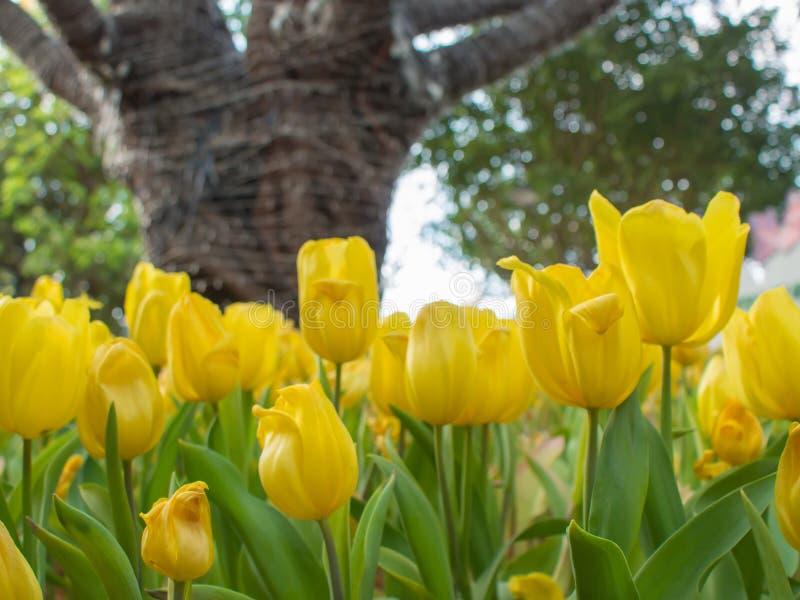 Żółty tulipanu ogród na plamy tle zdjęcie royalty free