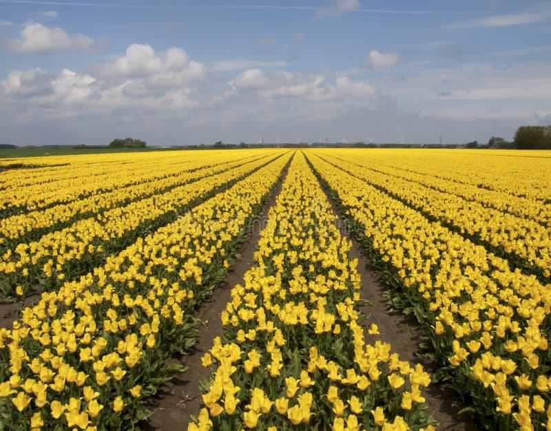 Żółty tulipanu pole zdjęcie stock