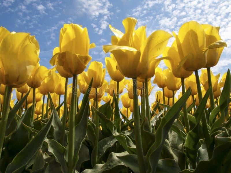 Żółty tulipanu pole obraz royalty free