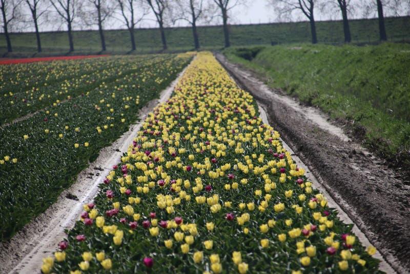 żółty tulipanu typ &-x27; Pogodny prince&-x22; w świetle słonecznym w rzędach w długim zdjęcia stock