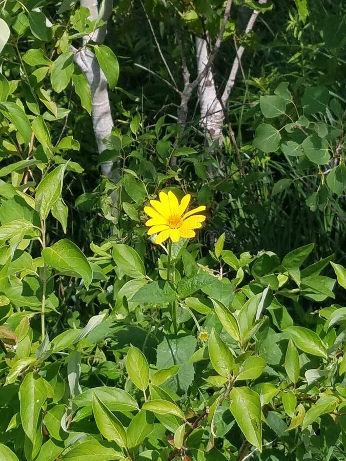 Żółty Wildflower obraz royalty free