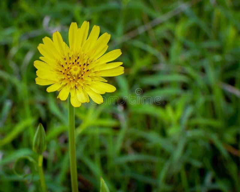 Żółty Wildflower w Pełnym kwiacie z pączkiem niedalekim obraz royalty free