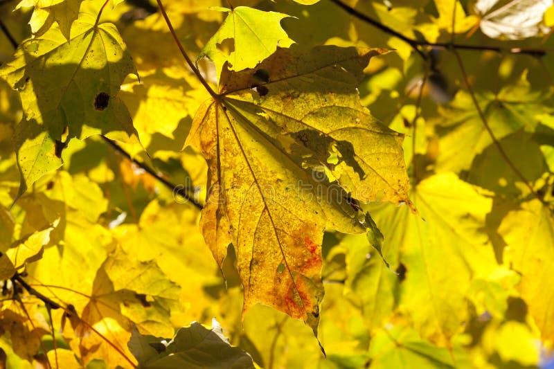 Żółtych liści klonowych zamknięty up obrazy royalty free