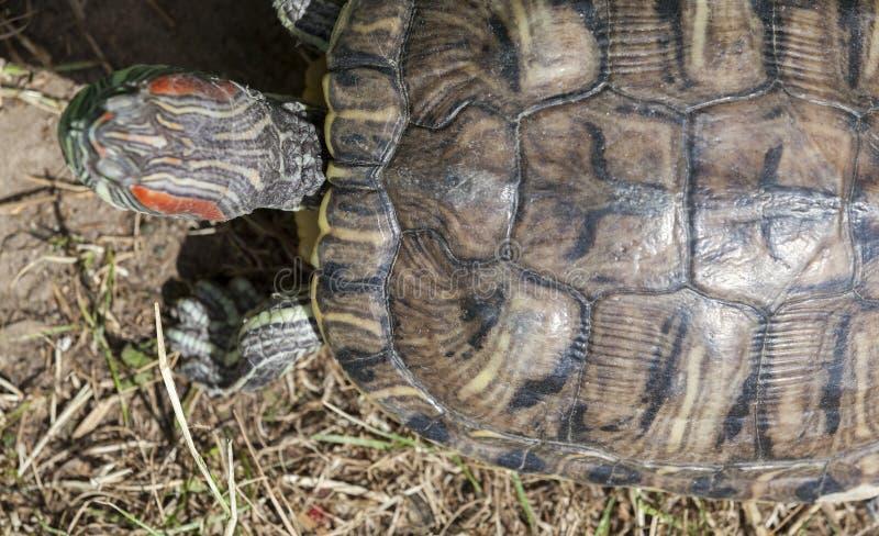 żółw czerwony żółw obraz stock