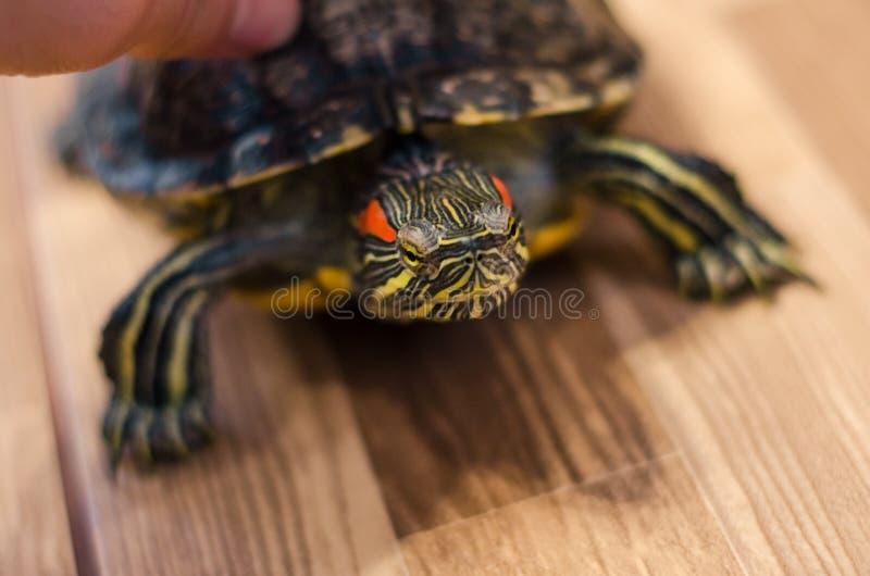 Żółw na podłodze w domu zdjęcia royalty free
